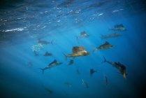 Mexico, Yucatan, Isla Mujeres, Caribbean Sea, Indo-Pacific sailfishes, Istiophorus platypterus — Stock Photo