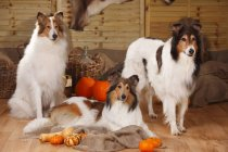 Three American Collies in autumnal decorated barn — Stock Photo