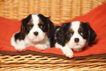 Два щенка Кавалера Король Чарльз Спаниель лежат на красном одеяле в корзине — стоковое фото