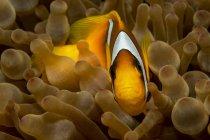 Egipto, Mar Rojo, Anémona del Mar Rojo, Amphiprion bicinctus, entre corales - foto de stock