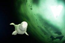Russie, Centre de plongée de cercle Arctique, cercle polaire, béluga — Photo de stock