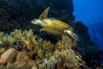 Hawksbill sea-turtle swimming under water, Red Sea, Egypt — Stock Photo