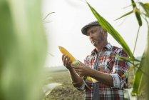 Зрілі фермер, контролюючи кукурудзи ХОБ в на maizefield — стокове фото