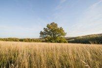 Autriche, Vienne de la Province, Wienerwald, Meadow et vieux chêne pendant la journée — Photo de stock