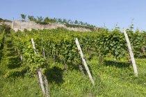 Vignoble dans le district viticole le jour — Photo de stock