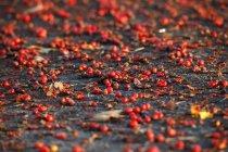 Rosso Rowanberries alla luce del mattino — Foto stock