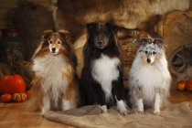 Three Shetland Sheepdogs sitting on sackcloth side by side in barn — Stock Photo