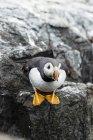 United Kingdom, England, Northumberland, Farne Islands, Atlantic puffin, Fratercula arctica, puffin bird on rock elevated view — Stock Photo