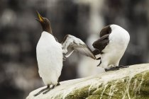 Common murre birds shouting and preening feathers on rock — Stock Photo