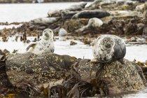 Gruppo di foche grigie atlantiche sulla spiaggia, Isole Farne, Northumberland, Inghilterra, Regno Unito — Foto stock