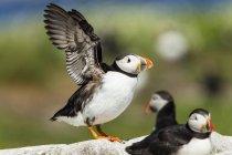 Royaume-Uni, Angleterre, Northumberland, îles Farne, macareux moines (Fratercula arctica), oiseaux Macareux moine sur pierre, un s'apprête à voler — Photo de stock
