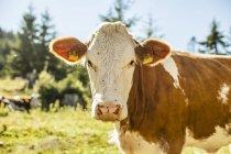 Gros plan de muselière de vache en plein soleil, regardant la caméra — Photo de stock