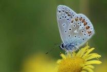 Mariposa azul común - foto de stock