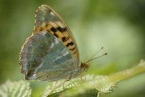 Argynnis paphia papillon — Photo de stock