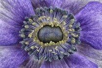 Détail de l'anémone violette, plein cadre — Photo de stock