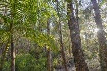 Австралія, новий Південний Уельс, Pottsville, Бамбук і дерева в підсвічування — стокове фото