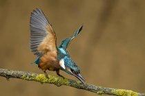 Германия, Нижняя Саксония, Обыкновенный зимородок, atthis зимородки, на ветке — стоковое фото