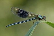 Calopteryx splendens сидя на травинку — стоковое фото
