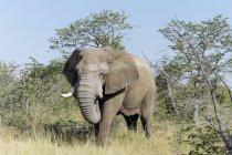 Afrika, Namibia, sossusvlei, Elefantenbulle in der Natur — Stockfoto