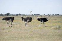 África, Namibia, Parque Nacional de Etosha, tres avestruces africanos caminando en la naturaleza - foto de stock