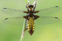 Libellula depressa dragonfly — Photo de stock