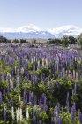 Nouvelle-Zélande, lupins violettes, Lupinus, devant le paysage — Photo de stock