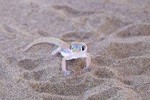 Palmato gecko on sand — Stock Photo