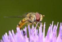 Hoverfly en flor color de rosa, de cerca - foto de stock