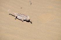 Chamaeleo namaquensis avec des proies sur le sable — Photo de stock