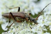 Longhorn beetle, Stictoleptura rubra, sitting on blossom — Stock Photo