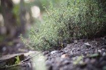 Timo di Germania, Baden-Wuerttemberg, Garden, Thymus vulgaris in giardino — Foto stock
