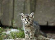 Таббі кошеня з блакитними очима, дивлячись на камеру на відкритому повітрі — стокове фото