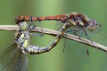 Deux dards communs, Sympetrum Striolatum, vue de l'accouplement — Photo de stock