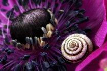 Detalles de flor de anémona rosa con caparazón de caracol sobre pétalo - foto de stock