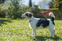 Jack Russel Terrier puppy standing in garden — Stock Photo