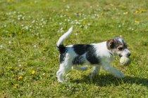 Джек Рассел терьер щенок ходьба в саду с мячом — стоковое фото