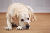 Primer plano de triste perro perdiguero de oro en suelo - foto de stock