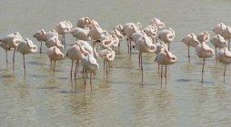 France, Provence Alpes Cote d'Azur, Camargue, sleeping flamingos, Phoenicopterus roseus — Stock Photo