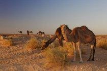 Afrika, Nordafrika, Tunesien, Maghreb, Sahara in der Nähe von Ksar Ghilane, Dromedare, Camelus dromedarius — Stockfoto