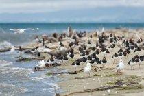 New Zealand, Golden Bay, Pakawau, flock of South Island Pied Oystercatchers and segaulls resting at the beach — Stock Photo