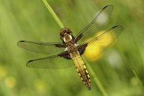 Corps large chaser, Libellula depressa, vue surélevée de libellule — Photo de stock