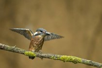 Alcedo atthis sitting on branch with spread wings — Stock Photo