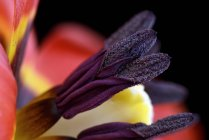 Primo piano di tulipano su sfondo nero — Foto stock