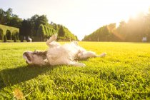 Собака катается по лугу на солнце — стоковое фото