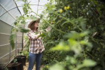 Smiling female gardener trimming tomato plants in a greenhouse — Stock Photo