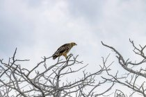 Africa, Namibia, Etosha National Park, Tawny Eagle sitting on bare tree — Stock Photo