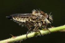 Общие Awl Robberfly, Neoitamus cyanurus, сидя на стебле перед черный фон — стоковое фото