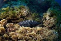 Portugal, Açores, Santa Maria, Océan Atlantique, Poisson mérou sombre — Photo de stock
