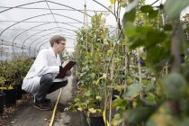 Scientist examining plants in greenhouse — Stock Photo