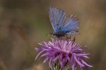 Денного крупним планом зору Синій метелик на Пурпурна квітка — стокове фото